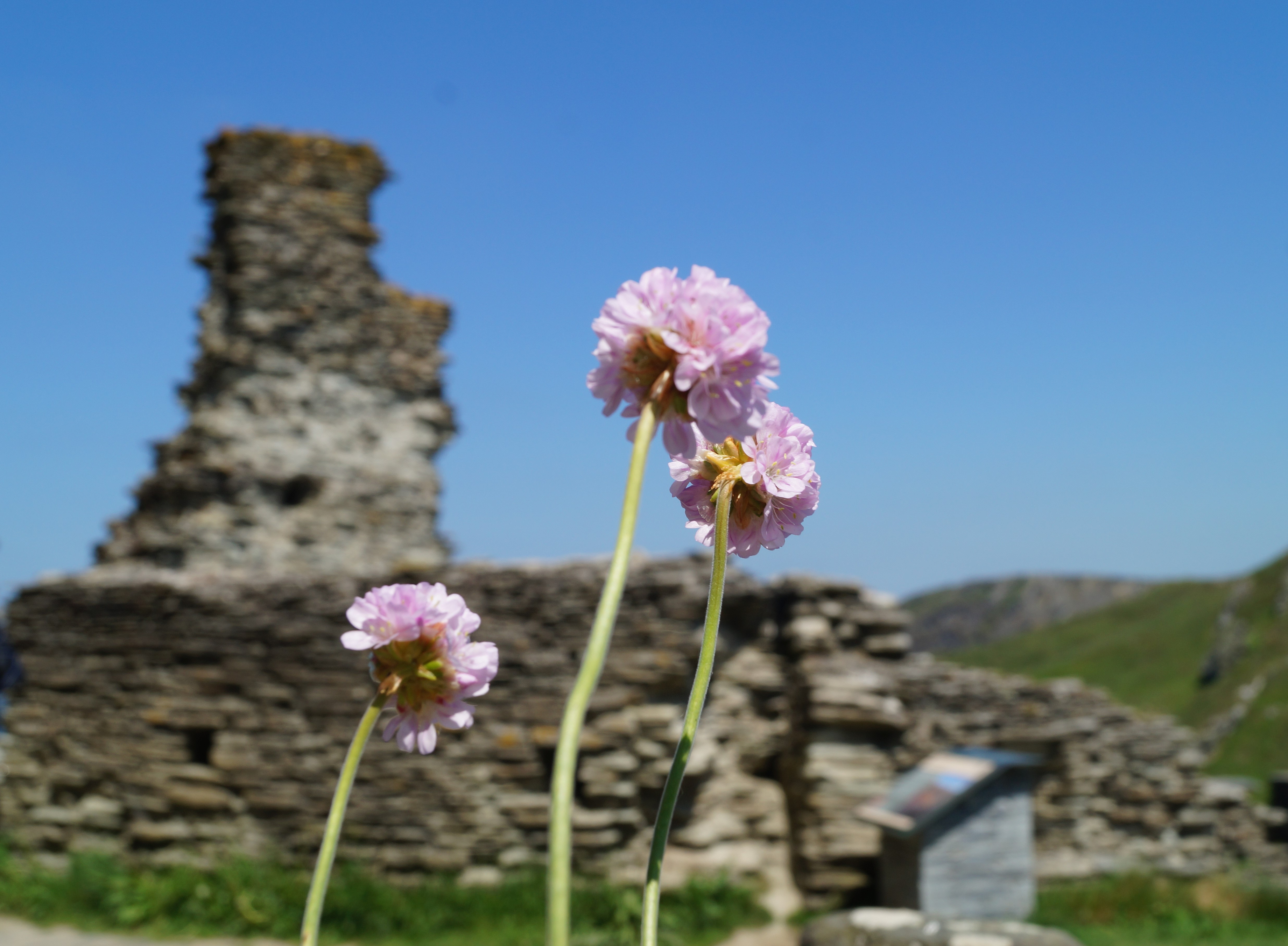 Part of Tintagel castle in the background with pink flowers in the foreground